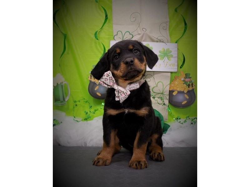 Rottweiler-Female-Black / Tan-2632703-My Next Puppy