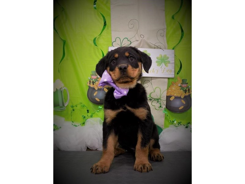 Rottweiler-Female-Black / Tan-2632705-My Next Puppy