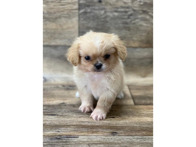 Pekingese-Male-Fawn-2656039-My Next Puppy
