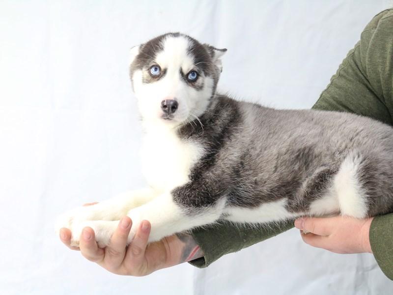Siberian Husky – Howlite