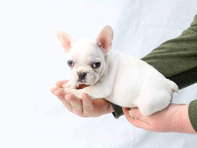 French Bulldog – Malachite