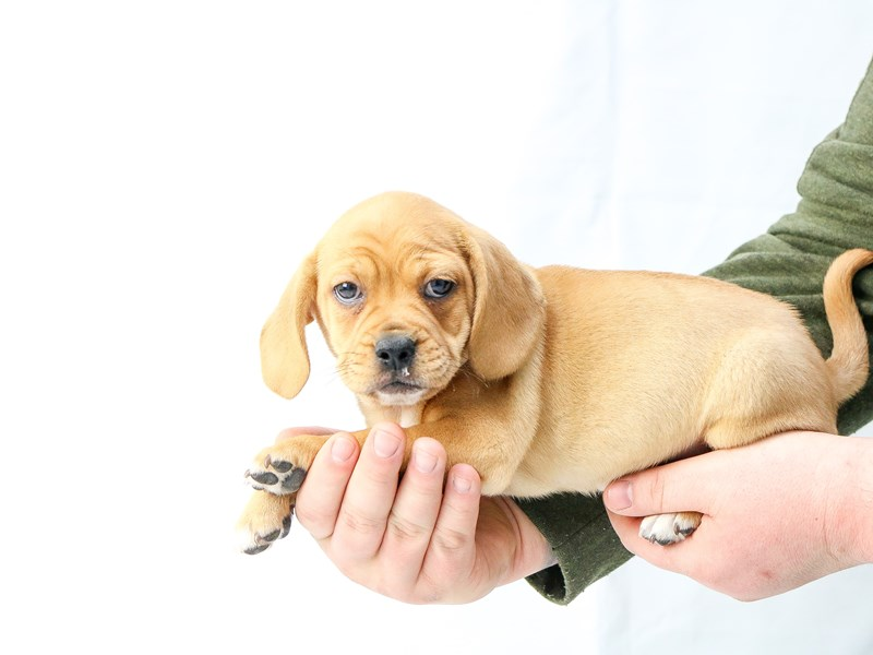 Puggle-Female-Fawn-2655981-My Next Puppy