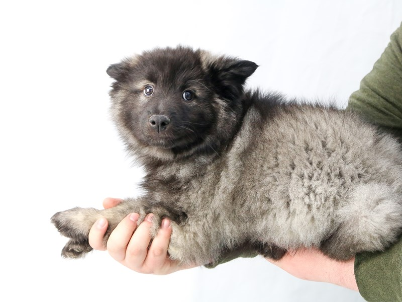 Keeshond-Female-Black / Silver-2656000-My Next Puppy