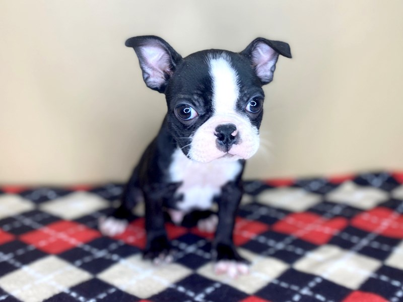 Boston Terrier-Male-Black / White-2656183-My Next Puppy