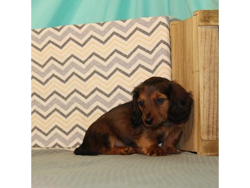 Dachshund-Female-Red Sable-2661926-My Next Puppy