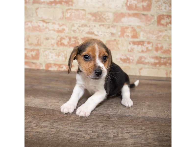 Beagle-Male-Tri-Colored-2661928-My Next Puppy