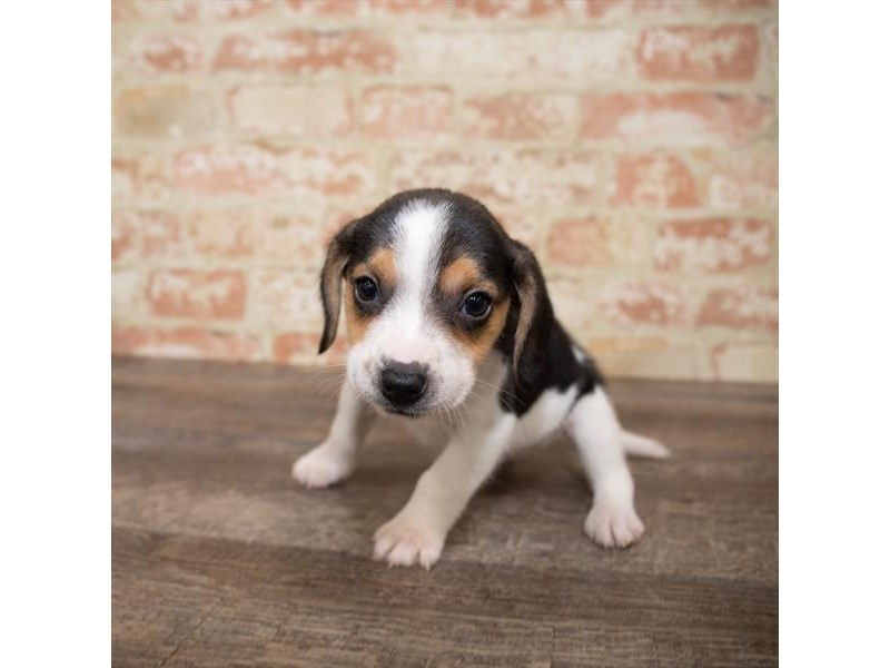 Beagle-Male-Tri-Colored-2661930-My Next Puppy