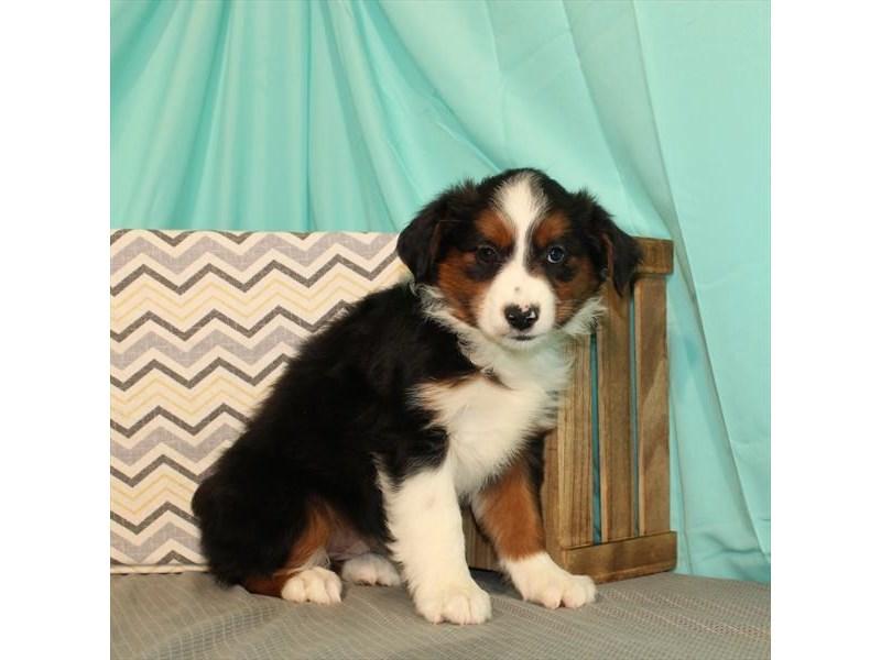 Australian Shepherd-Female-Black-2662135-My Next Puppy