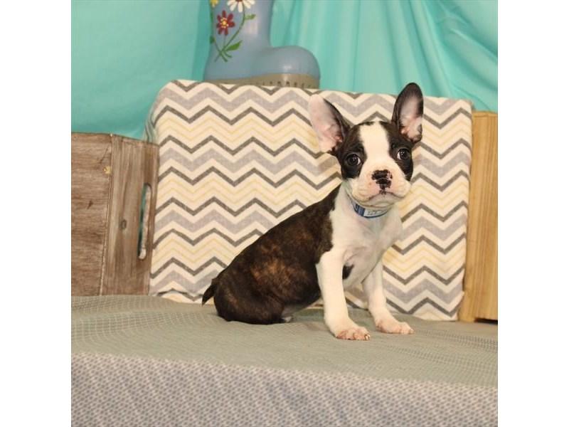 Boston Terrier-Male-Brindle-2662170-My Next Puppy