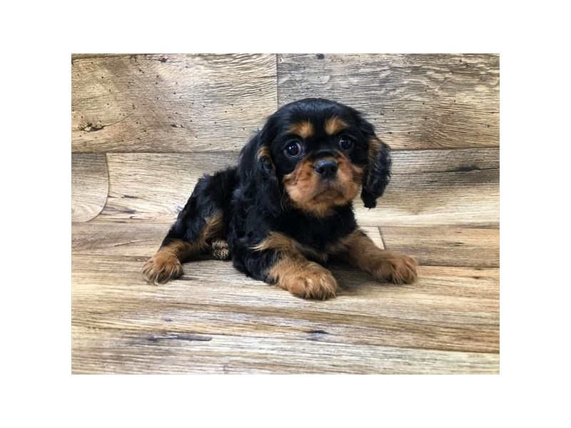 Cavalier King Charles Spaniel-Male-Black / Tan-2667945-My Next Puppy