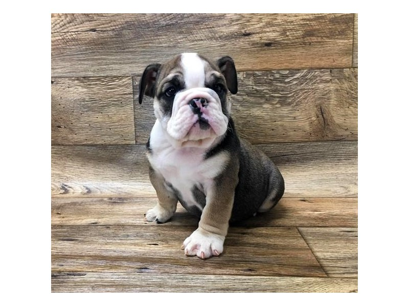 English Bulldog-Male-Fawn Sable-2667946-My Next Puppy
