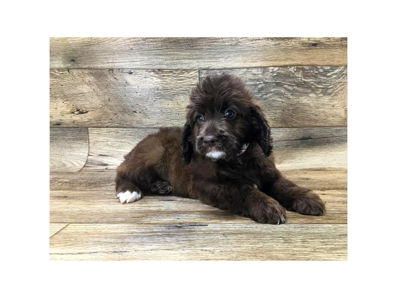 Miniature Cockapoo-Male-Chocolate-2667947-My Next Puppy