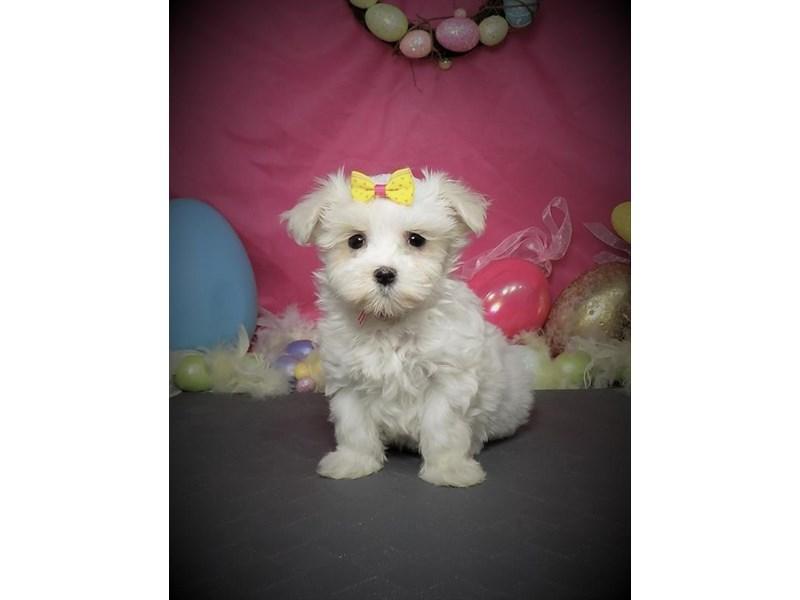 Maltese-Female-White-2667957-My Next Puppy