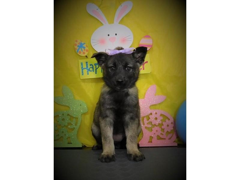Norwegian Elkhound-Female-Black / Gray-2668141-My Next Puppy