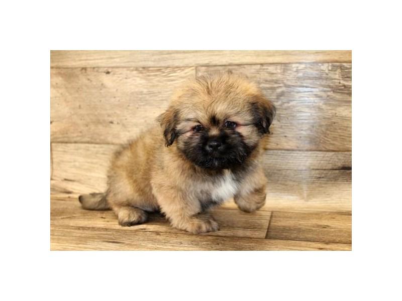 Lhasa Apso-Male-Golden-2672895-My Next Puppy