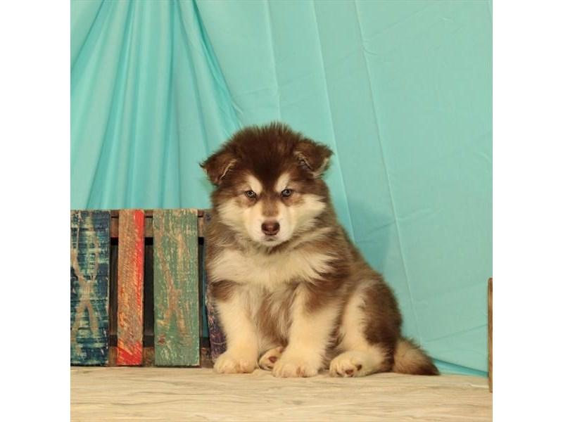 Alaskan Malamute-Female-Red / White-2672897-My Next Puppy