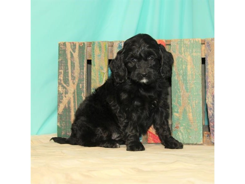Miniature Goldendoodle-Female-Black-2672899-My Next Puppy