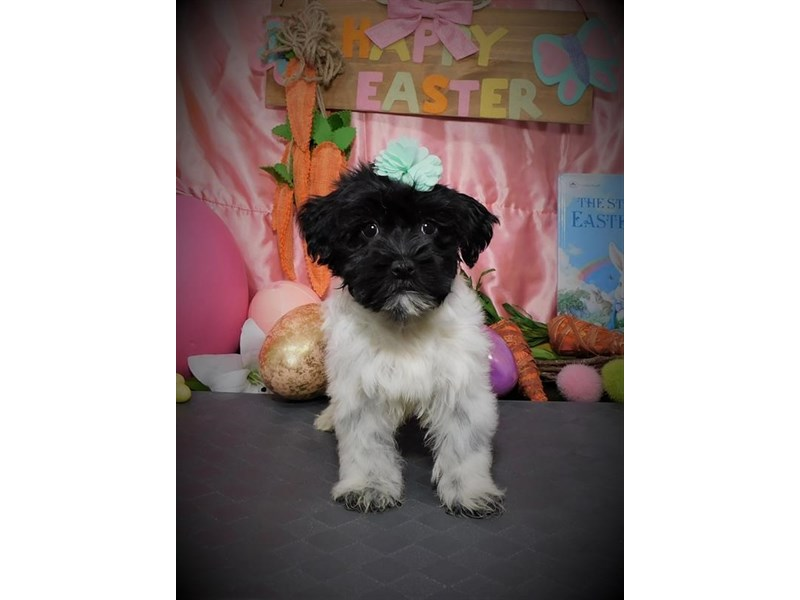 Havanese-Female-Black-2672900-My Next Puppy
