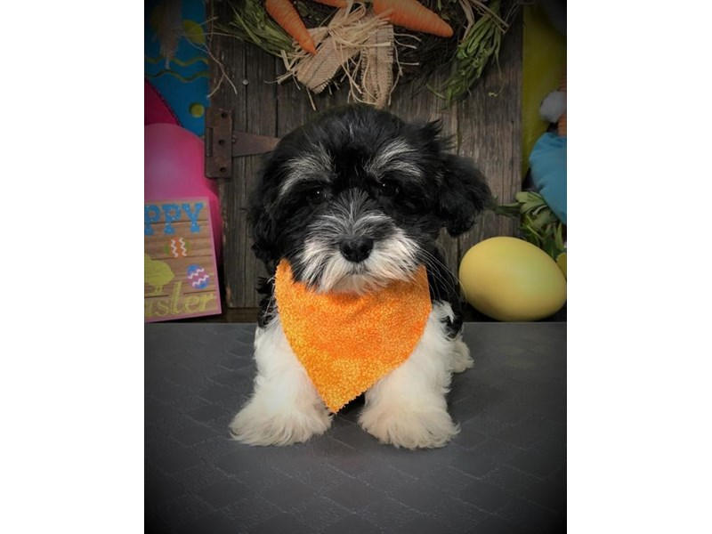 Havanese-Male-Black / Tan-2672901-My Next Puppy