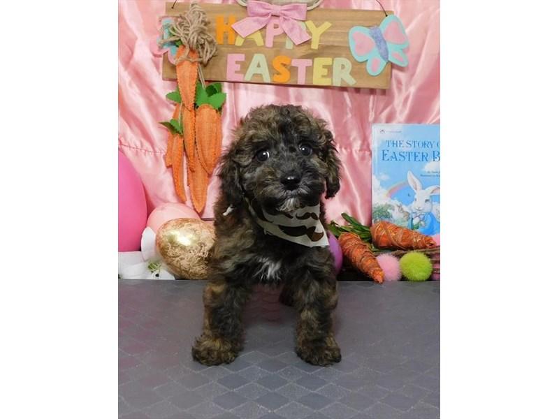 Miniature Poodle-Male-Cafe Au Lait-2672903-My Next Puppy