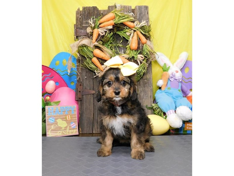 Mini Cavapoo-Female-Red Sable-2672911-My Next Puppy