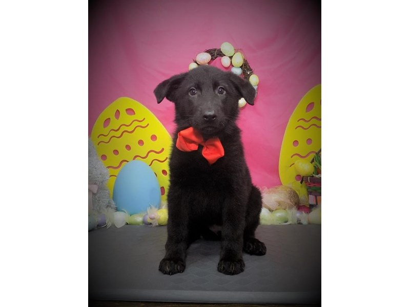 German Shepherd Dog – Vuitton