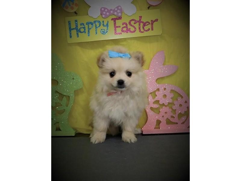 Pomeranian-Female-Cream-2672923-My Next Puppy