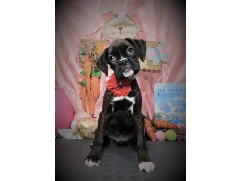 Boxer-Female-Reverse Brindle-2673200-My Next Puppy