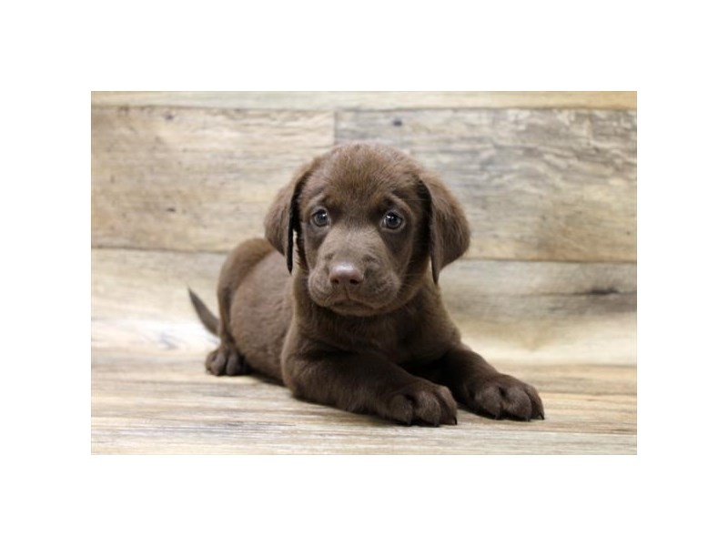 Labrador Retriever – Pepper
