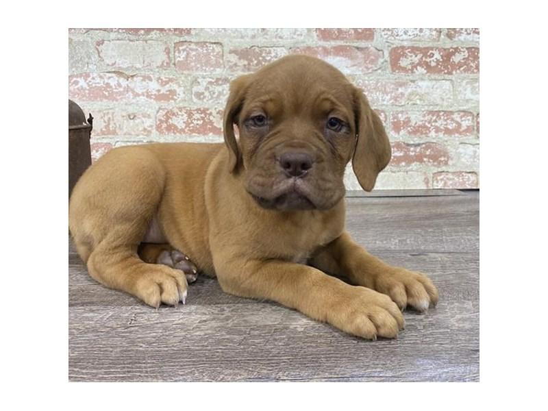 Dogue De Bordeaux-Female-Red-2680403-My Next Puppy