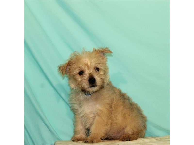 Cairn Terrier-Male-Wheaten-2680407-My Next Puppy