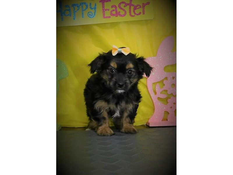Chorkie-Female-Black / Tan-2680409-My Next Puppy