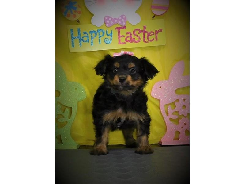 Chorkie-Female-Black / Tan-2680412-My Next Puppy