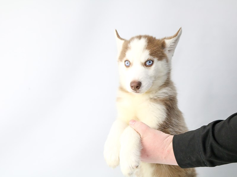 Siberian Husky-Male-Red / White-2686877-My Next Puppy