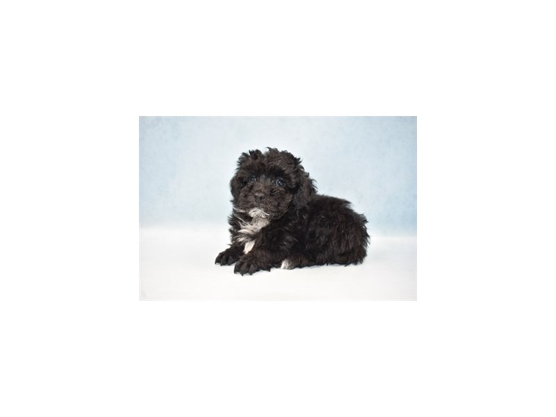 Poodle-Male-Black and White-2633645-My Next Puppy