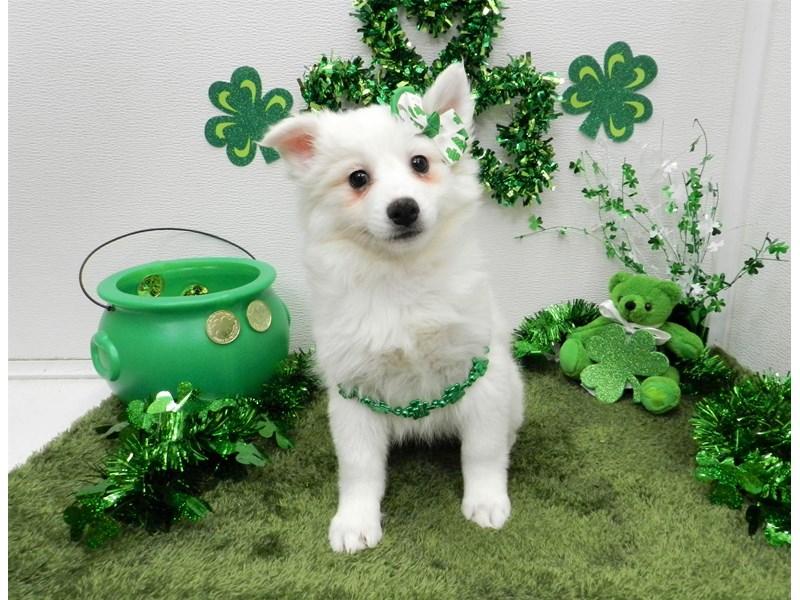 American Eskimo-Female-White-2648947-My Next Puppy