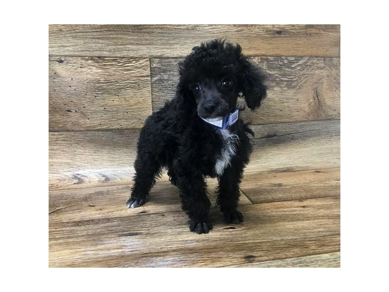 Toy Poodle-Female-Black-2667948-My Next Puppy
