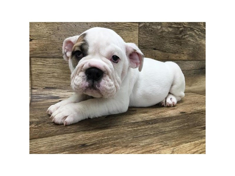 English Bulldog-Male-Red / White-2667951-My Next Puppy