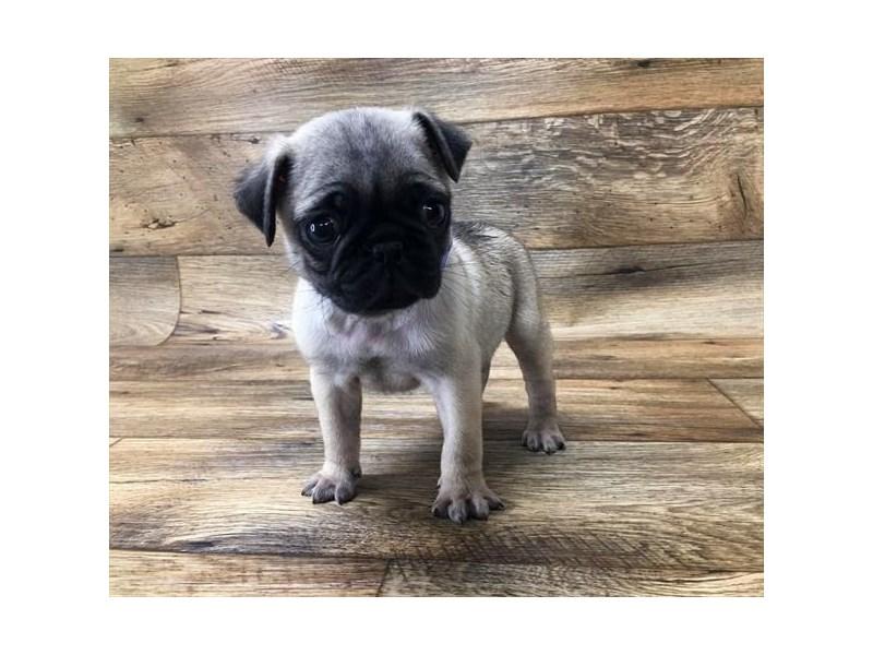Pug-Male-Fawn-2672896-My Next Puppy
