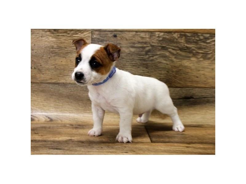 Jack Russell Terrier – Hugo