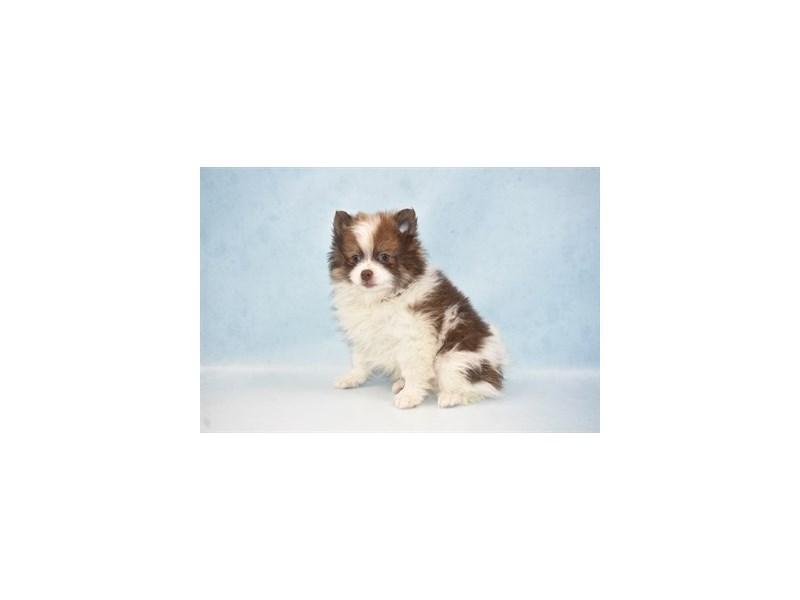 Pomeranian-Male-Chocolate-2674888-My Next Puppy