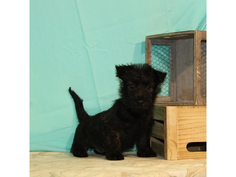 Scottish Terrier-Male-Black Brindle-2680404-My Next Puppy