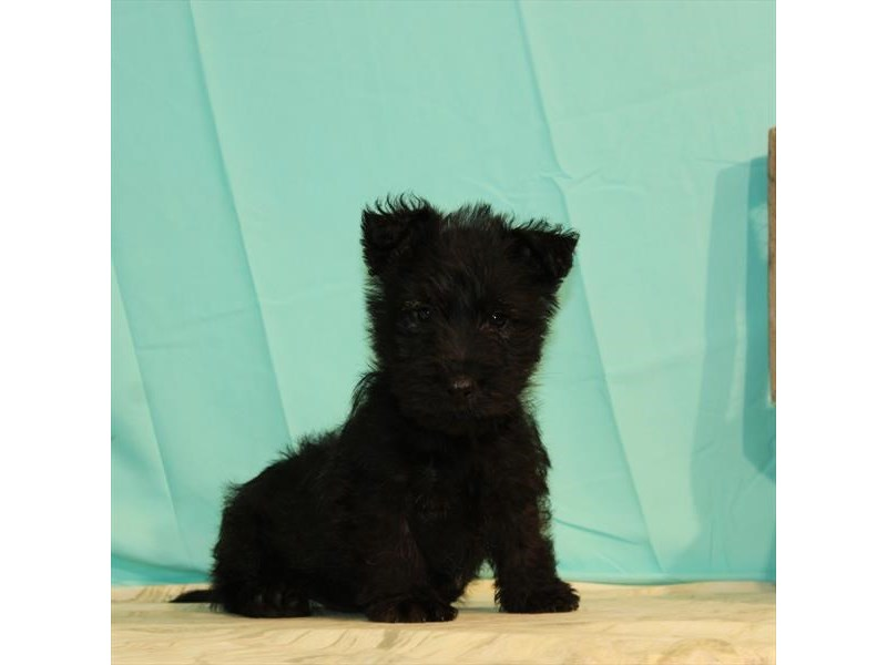 Scottish Terrier-Male-Black Brindle-2680405-My Next Puppy