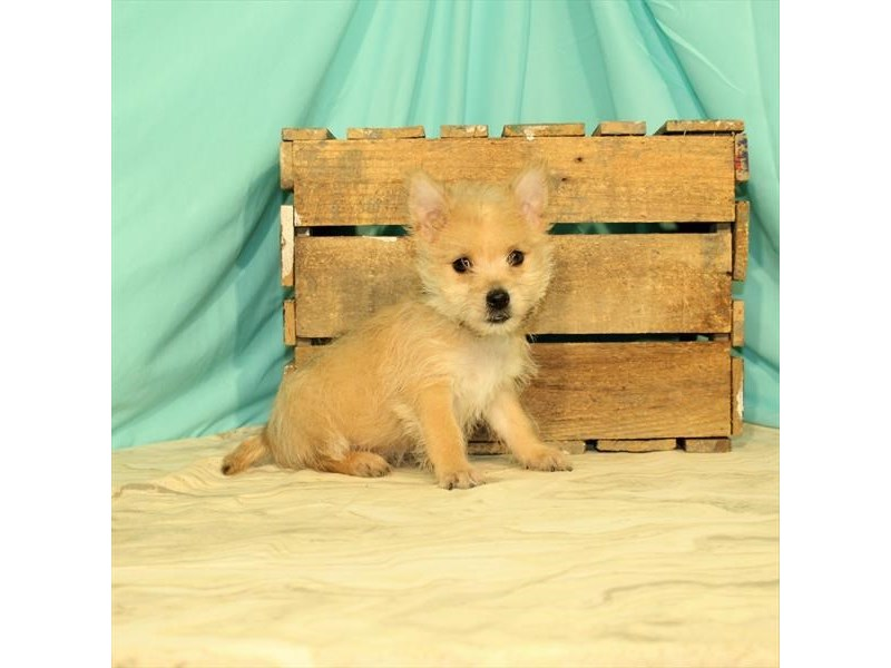 Cairn Terrier-Female-Wheaten-2680406-My Next Puppy