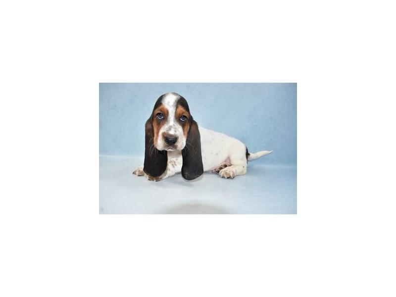 Basset Hound-Male-Black White and Tan-2688338-My Next Puppy