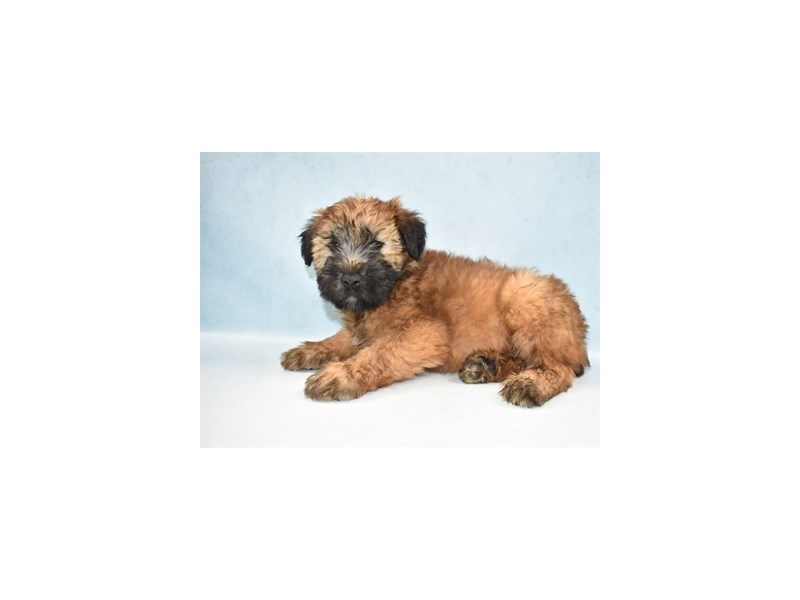 Soft Coated Wheaten Terrier-Male-Wheaten-2688368-My Next Puppy