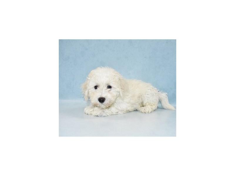 Bichon Frise-Male-White-2688371-My Next Puppy