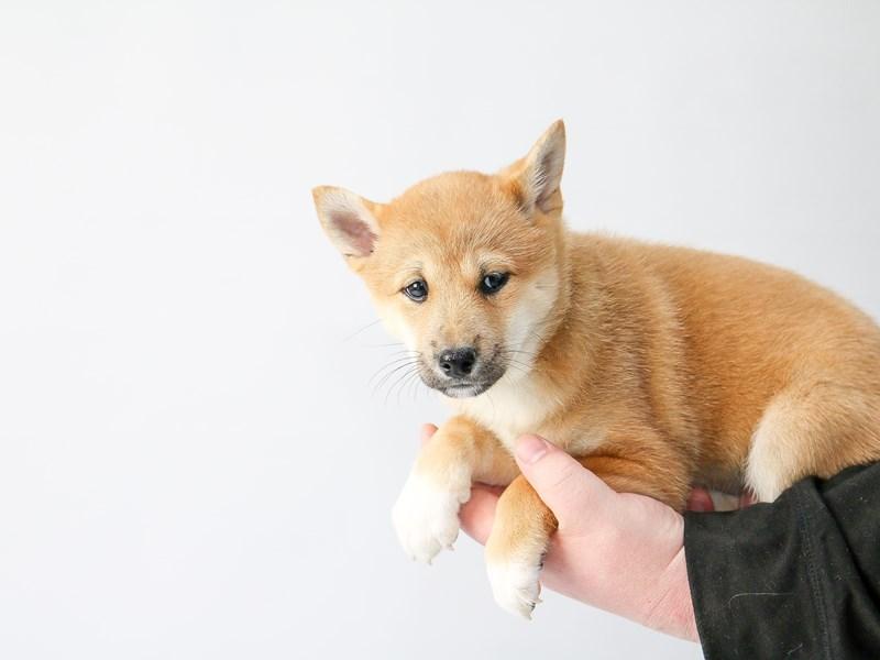 Shiba Inu – Lassie