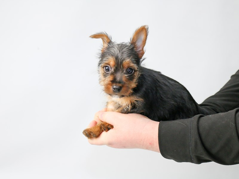 Silky Terrier – Scrappy