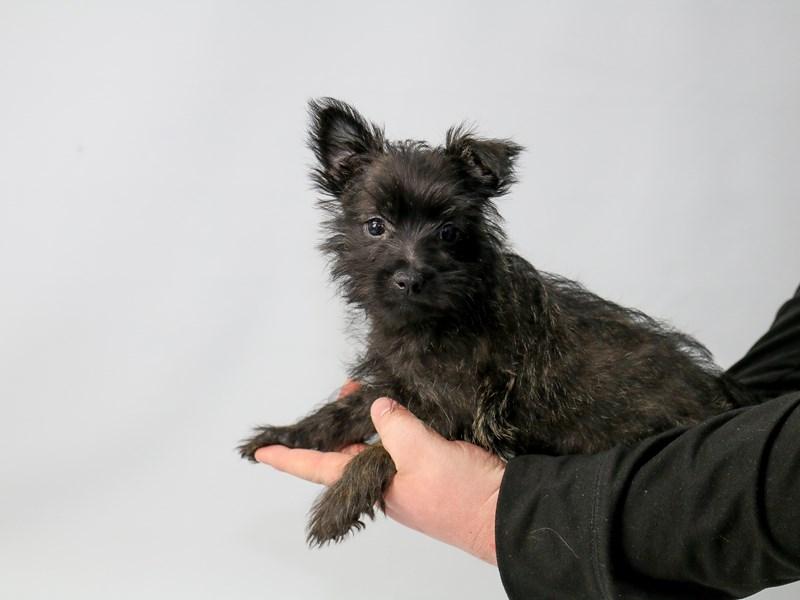 Cairn Terrier-Female-Wheaten-2686239-My Next Puppy